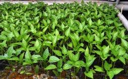 Растя саженцы сладкого перца в парнике стоковые изображения