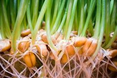 Растя съестная трава дома Зеленые ростки приходя из семян в белом баке стоковые фотографии rf