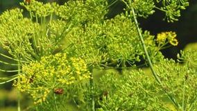 Растя укроп на плантации фермера Крупный план цветорасположения укропа зацветая укроп летом, весна в саде сток-видео