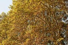 Расцветка дуба Стоковые Изображения RF