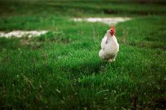 Расцветка деревенского цыпленка белая на предпосылке травы Стоковые Фото