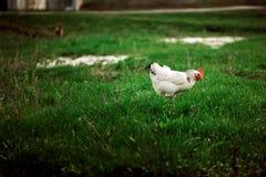 Расцветка деревенского цыпленка белая на предпосылке травы Стоковые Изображения