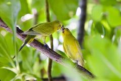 расцелованные budgerigars ветви Стоковые Фотографии RF