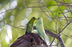 расцелованные budgerigars ветви Стоковое Фото