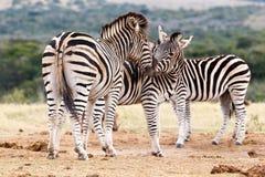 Расцелуйте девушку - зебру Burchell Стоковое Изображение