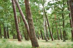 Расчистка леса сняла с долгой выдержкой на бурный день, делая все расплывчатый за исключением хоботов и создавая мечтательный atm стоковое изображение rf