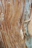 Расшива австралийского бумажного дерева уроженца расшивы Стоковая Фотография
