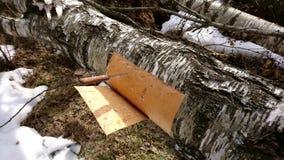 Расшива березы вырезывания от дерева березы Стоковое Изображение