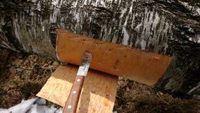 Расшива березы вырезывания от дерева березы Стоковые Фотографии RF