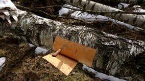 Расшива березы вырезывания от дерева березы Стоковое фото RF