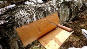 Расшива березы вырезывания от дерева березы Стоковое Изображение RF