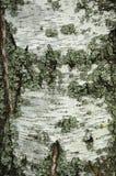 Расшива березы с лишайником Стоковая Фотография
