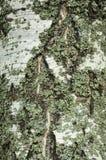 Расшива березы с лишайником Стоковое Фото