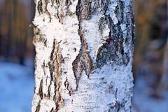 Расшива березы, текстура Стоковая Фотография