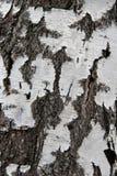 Расшива березы чистая Стоковые Изображения RF