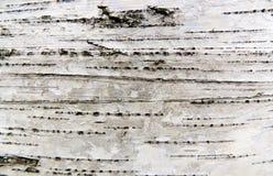 Расшива березы Стоковое фото RF