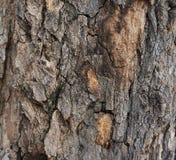 Расшива большого дерева с красивыми картинами Стоковая Фотография