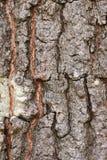 Расшива дерева дуба стоковые фото