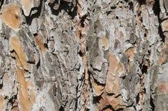 Расшива дерева сосенки Стоковые Фото
