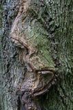 Расшива дуба с узелками Стоковое Фото