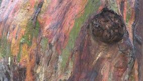 Расшива дерева евкалипта радуги видеоматериал