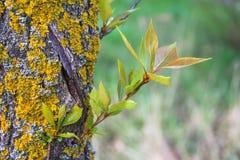 Расшива дерева с мхом Стоковые Изображения
