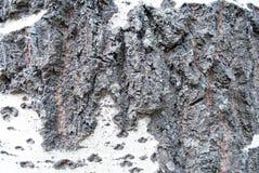 Расшива дерева тополя Стоковое Изображение RF