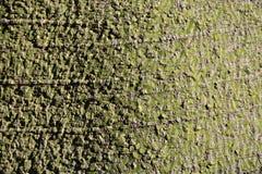 Расшива дерева boabab Стоковая Фотография RF