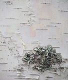 Расшива и лишайник березы Стоковое Изображение