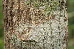 Расшива и ствол дерева Стоковые Фотографии RF
