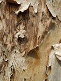 Расшива на старом эвкалипте Стоковые Изображения RF