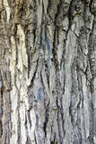 Расшива от голубого mavic дерева Стоковые Фото