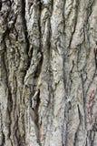 Расшива от очень mavic дерева Стоковое фото RF