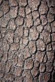 Расшива сосенки Loricate Стоковые Изображения RF
