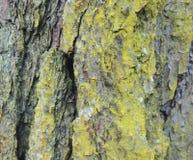 Расшива сосны с ярким мхом желтого зеленого цвета Стоковая Фотография RF