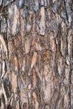 Расшива сосны Стоковые Изображения
