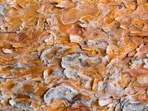 Расшива сосны Стоковое Изображение RF