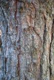 Расшива сосны Стоковое фото RF