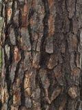 Расшива сосны Стоковые Изображения RF