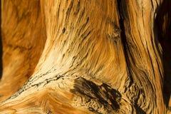 Расшива сосны Bristlecone Стоковое Фото