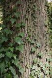 Расшива старого дерева с мхом и плющом Стоковое Изображение RF