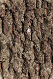 Расшива текстуры вала сосенки Стоковое Фото