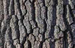 Расшива текстуры предпосылки старого дерева тополя с мхом на венах в скользя свете Стоковое Фото