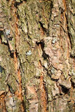 Расшива текстуры птицы сосны Стоковое Изображение RF