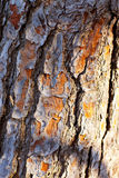 Расшива текстуры ствола дерева сосенки Стоковые Фотографии RF