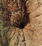 Расшива дуба Стоковое фото RF