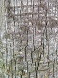 Расшива хобота сосны Стоковая Фотография