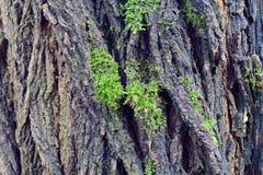 Расшива черной саранчи Стоковые Изображения RF