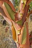 Расшива Arbutus шелушения Стоковое Изображение