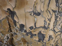 Расшива dichotoma дерева или алоэ колчана Стоковое Изображение
